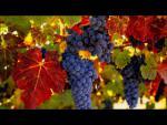 Виноградные экстракты для поддержания здоровья сосудов